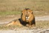 Killing of Cecil pressures United States to protect African lion