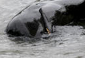 Activists held after trying to halt Faroe Island dolphin hunt