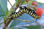 Canceled flights: For monarch butterflies, loss of migration means more disease