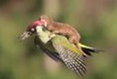 VIDEO: Weasel on bird photo 'extraordinary'
