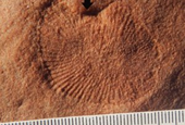 Discovering missing body parts of ancient fossils: Waves and storms lifted fossils off the seafloor