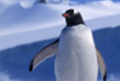 Antarctic Tourism Could Expose Penguins to New Diseases, Study Warns