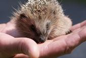 Spare Some Room for a Hedgehog?