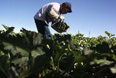 The flaw in the food system: Are Canadians ready for the consequences of paying farm workers more?