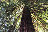 Where to find California's moon trees, grown from seeds taken aboard an Apollo mission