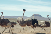 Return of 'Ostrich' Gives Samsung Three-Spot Domination on Viral Video Chart