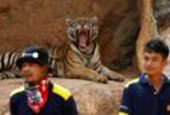Big cats removed from Thailand's infamous Tiger Temple