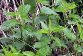 Yes, stinging nettles sting. But they have many assets too.