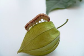 Moth takes advantage of defensive compounds in Physalis fruits
