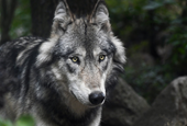 Wrong direction on grey wolf decision