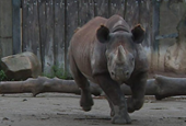 How do you transport a rhino from Germany to the UK?