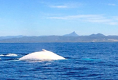 White humpback Migaloo spotted off Australia's Byron Bay