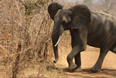 New report confirms grim outlook for elephants