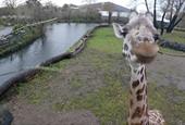 'Habitat loss and war cause big drop in giraffe numbers'