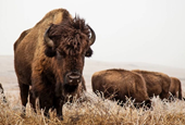 Prairie with bison indicates origin of 'lost crops'