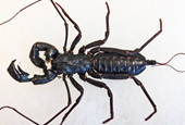 You can chill out about the giant whip scorpion