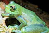 Watch a glass frog get funky when mating croaks are too quiet