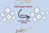 Jet lag treatment? Blast of thin air can reset circadian clocks