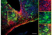 Clock stars: Astrocytes keep time for brain, behavior