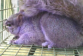 How to Look Like a Purple Squirrel